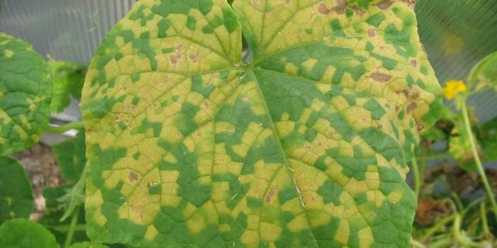 Пятна на листьях огурцов: что делать и чем лечить