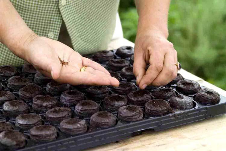 Посадка перца в домашних условиях: посев, уход