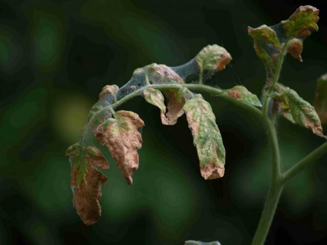 Скручиваются листья у помидоров: что делать