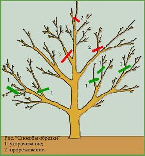 Как правильно обрезать плодовые деревья: осенью или весной