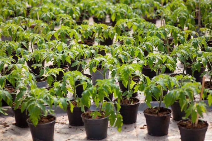 Когда рекомендована посадка помидор на рассаду в 2020 году?